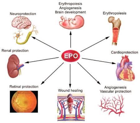 Влияние эритропоэтина на организм.