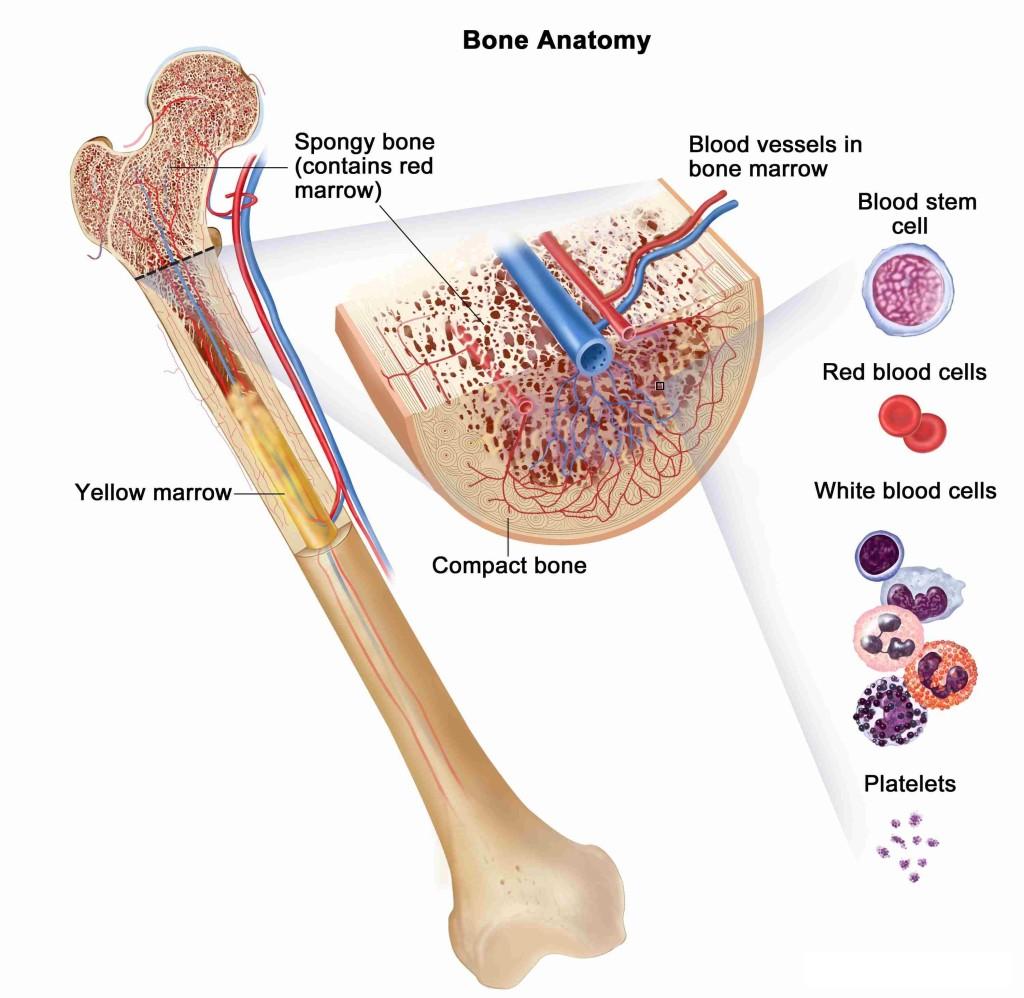 Анатомия работы костного мозга