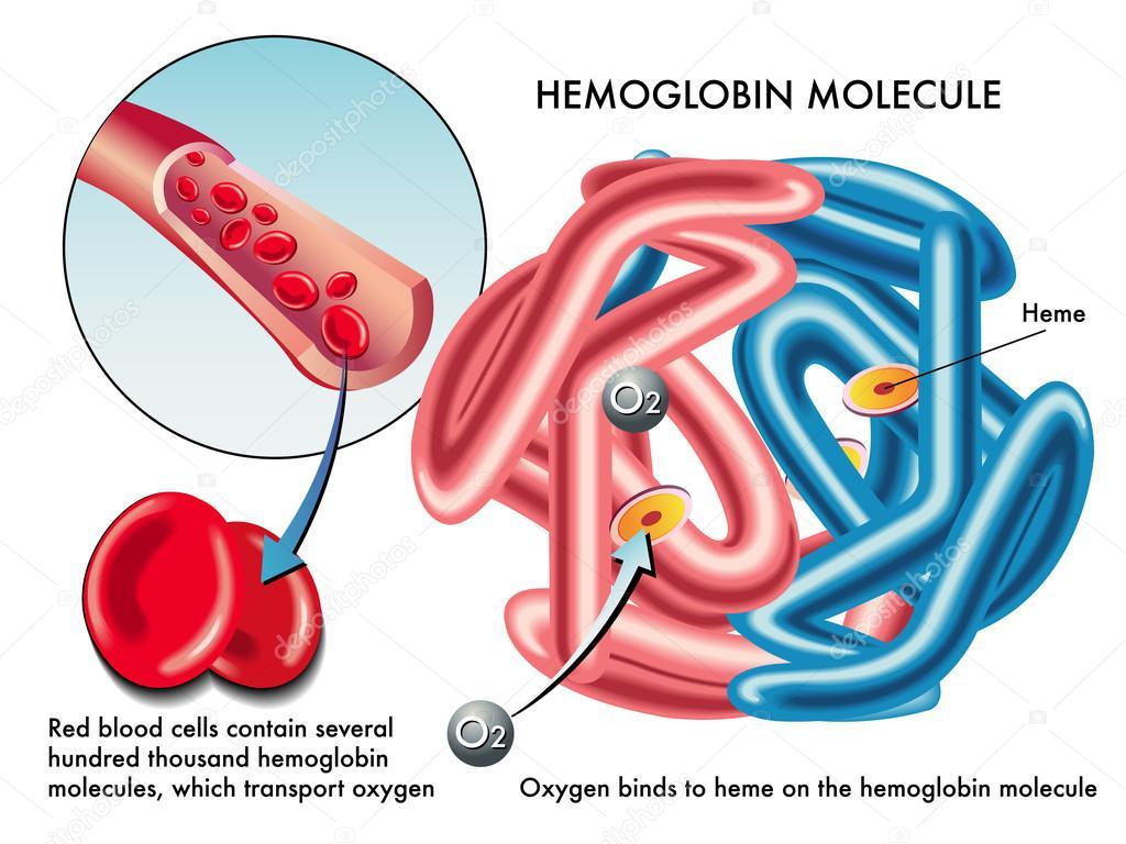 Строение гемоглобина с молекулами кислорода и железа