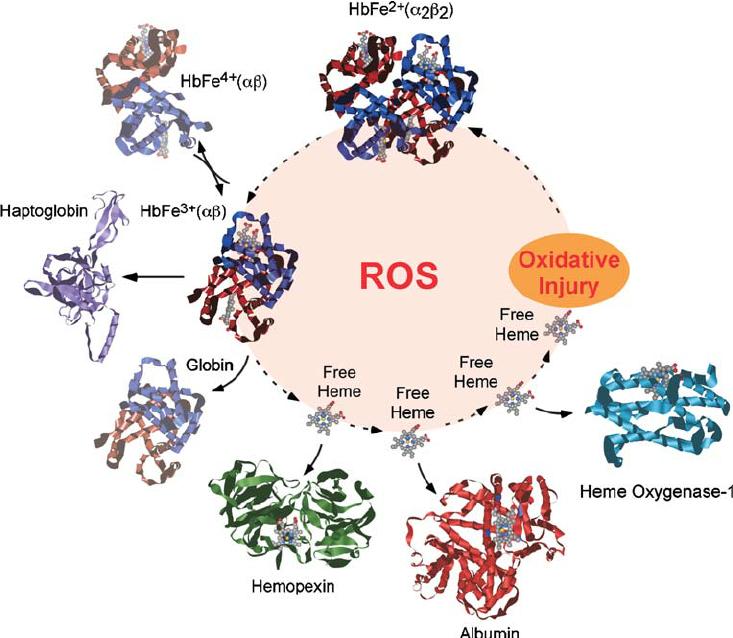 Механизмы защиты от свободного гема, образующегося при окислении гемоглобина.