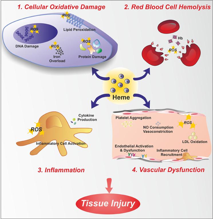 Токсичность свободного гемоглобина