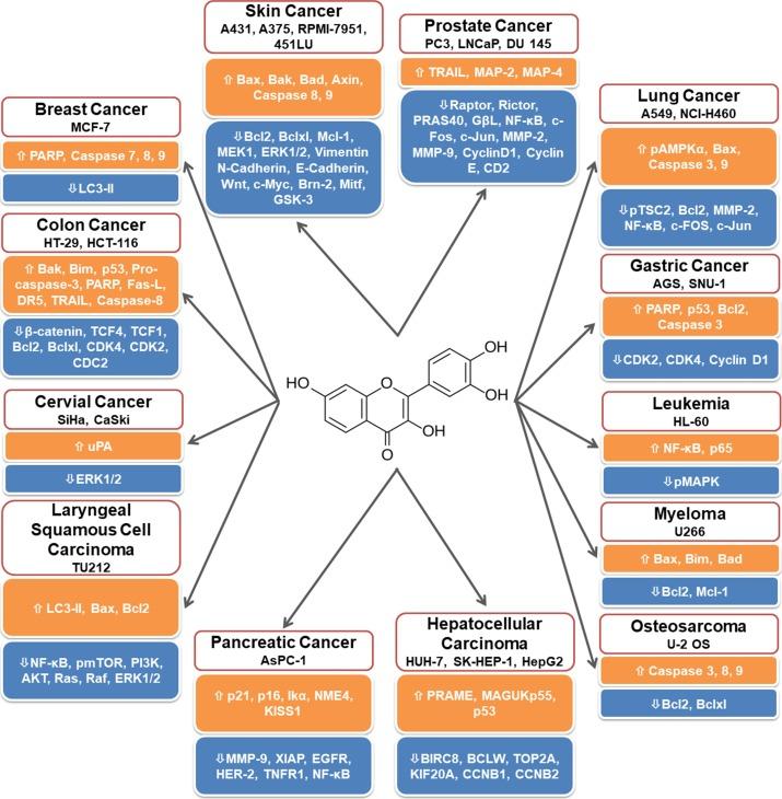 Физетин влияет на множество видов злокачественных клеток