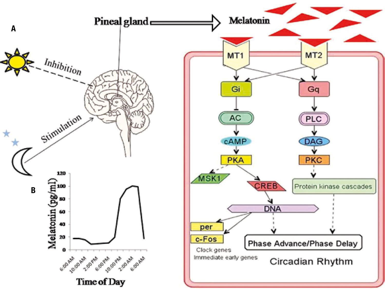 Рецепторы мелатонина
