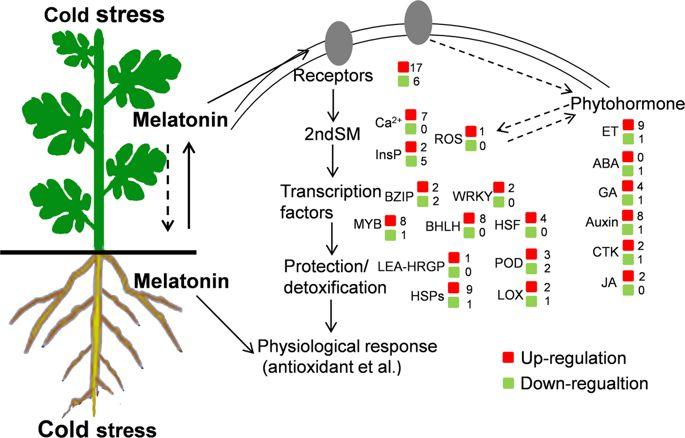 Мелатонин в продуктах