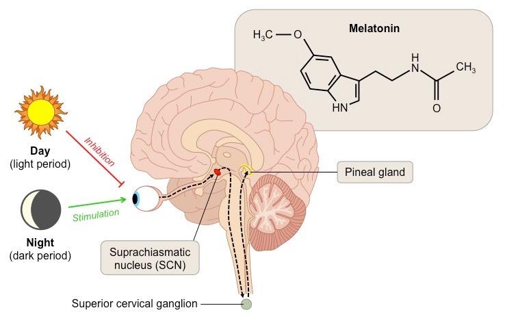 Мелатонин сообщает телу об яркости внешнего освещения