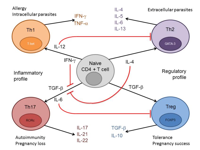 Деление иммунных клеток на Th1 и Th2