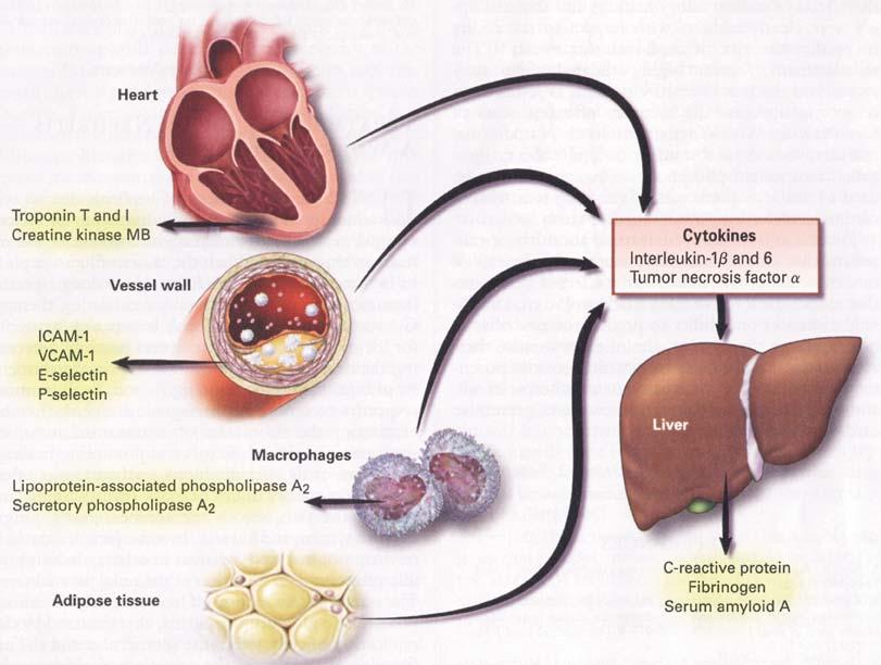 При заболеваниях вырабатываются воспалительные белки