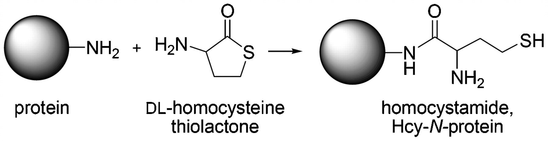 Прикрепление гомоцистеина к белкам