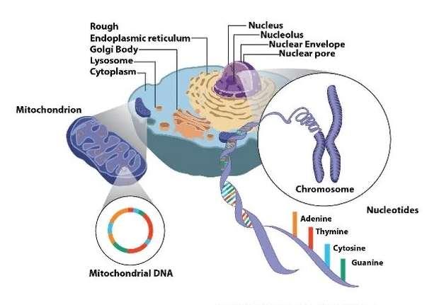 Сравнение обычной ДНК и митохондриальной ДНК