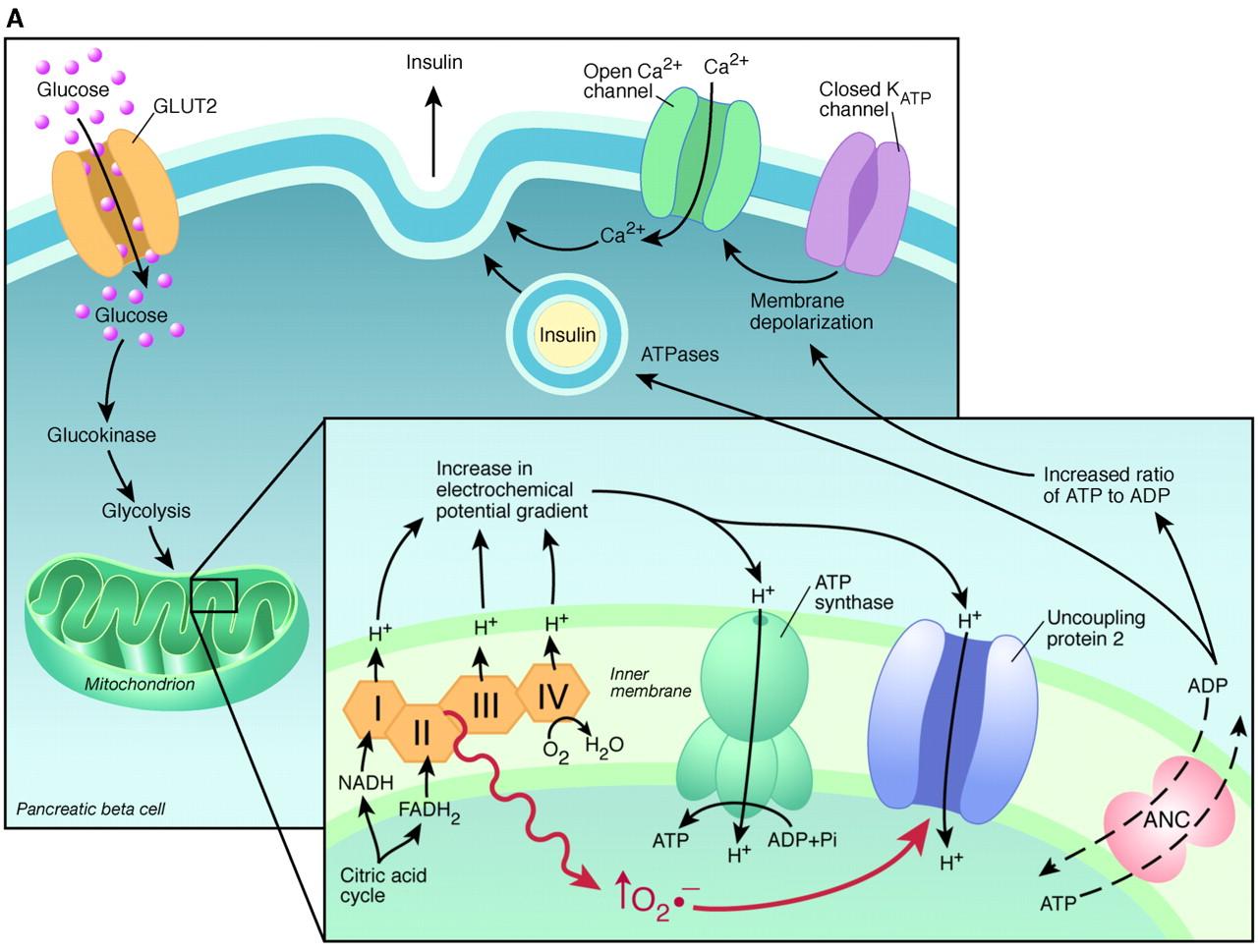 Нарушение работы митохондрий при диабете 2-го типа