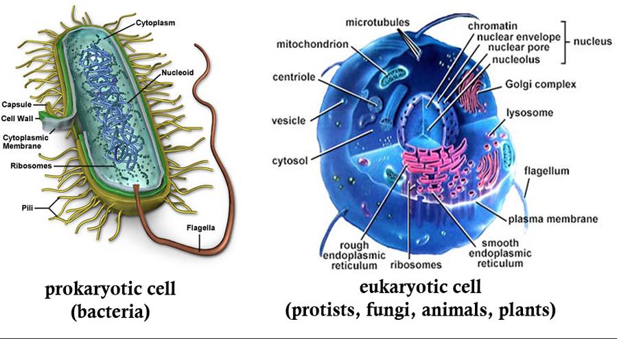 Прокариотическая и эукариотическая клетки
