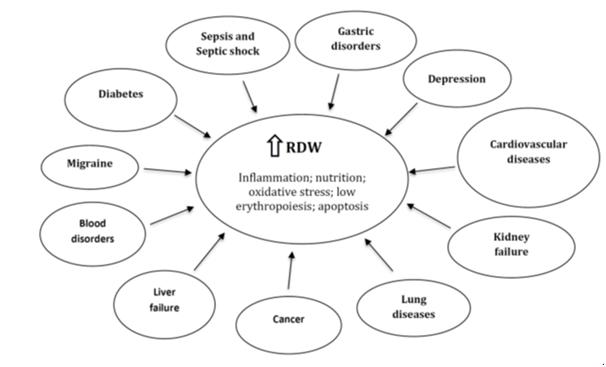 При каких заболеваниях растет уровень RDW