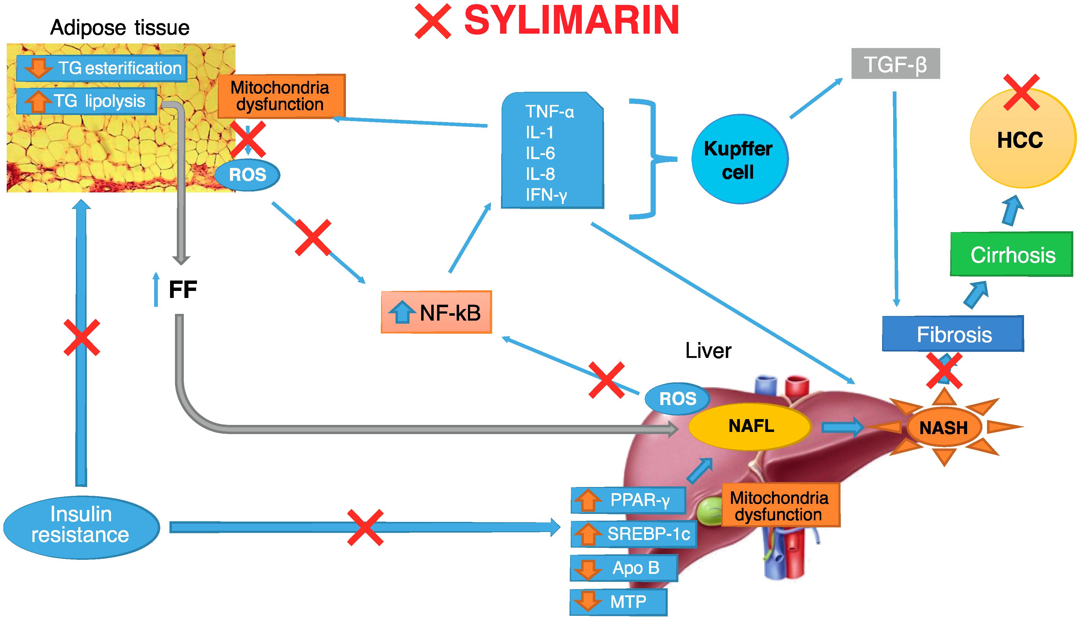 Молекулярные мишени силимарина при неалкогольной жировой болезни печени