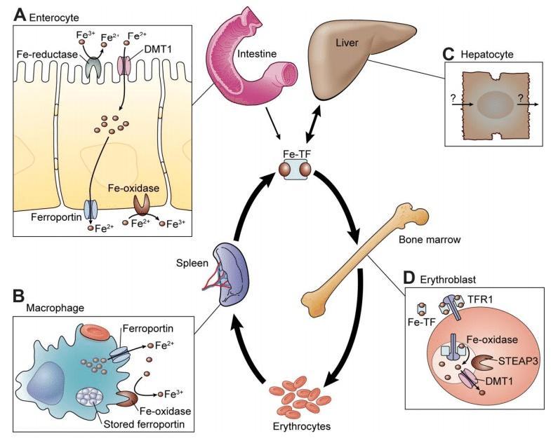 Гомеостаз железа (метаболизм железа)