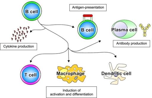 Функция иммунных В-клеток