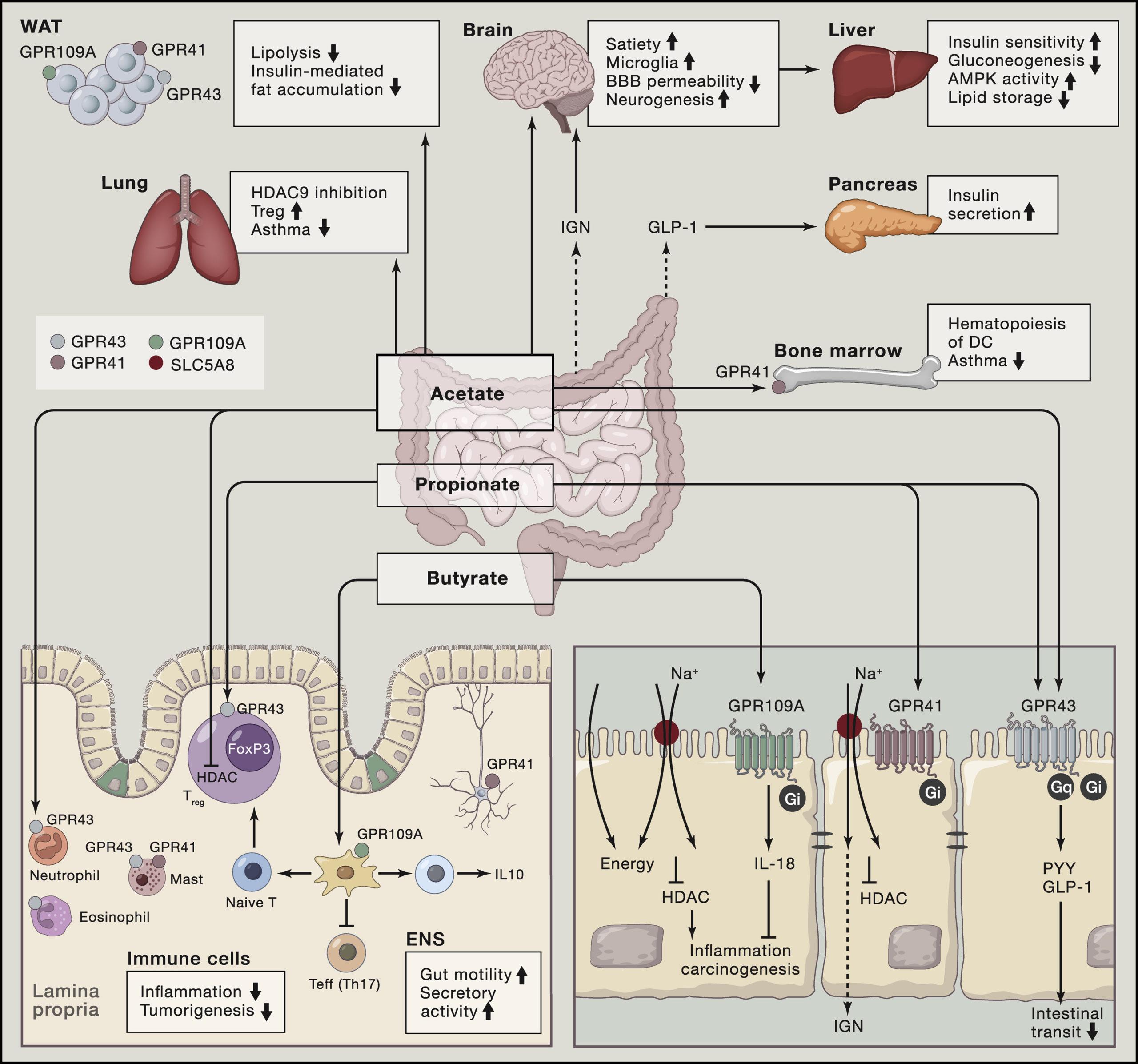 Механизм действия короткоцепочечных жирных кислот