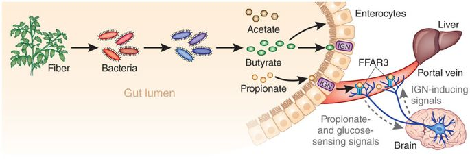 Влияние короткоцепочечных жирных кислот