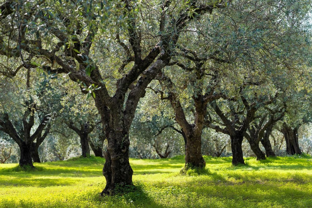 Сад оливковых деревьев