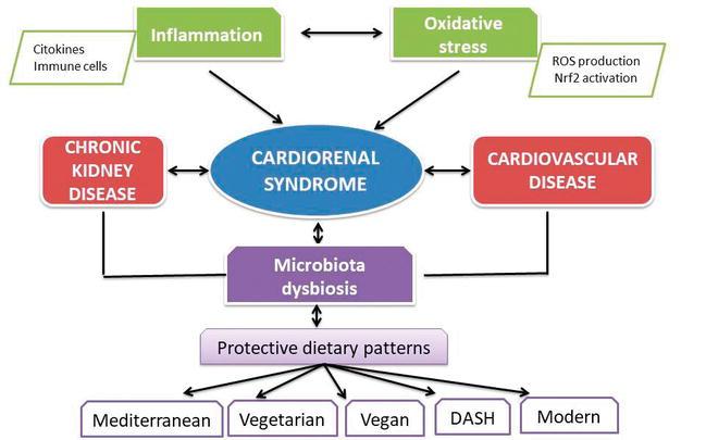 Связь заболеваний сердца и почек через микрофлору кишечника