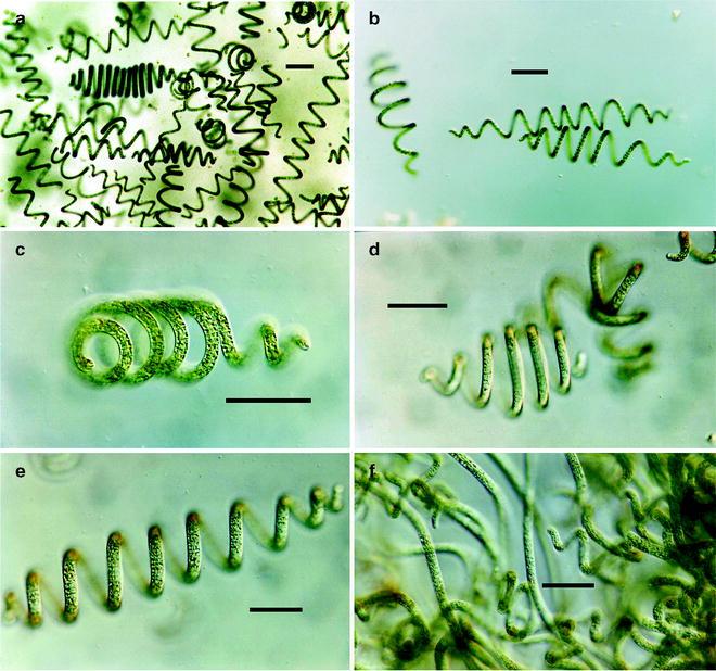 Спирулина под микроскопом