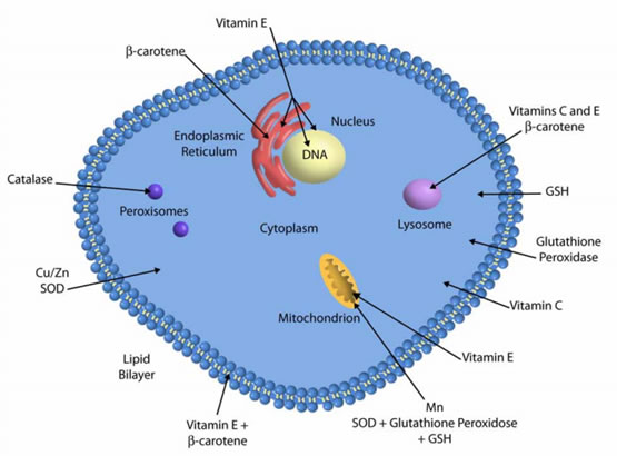 Антиоксидантные ферменты