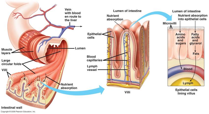 Строение стенок кишечника