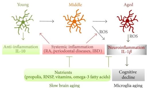 Снижение старения микроглий мозга