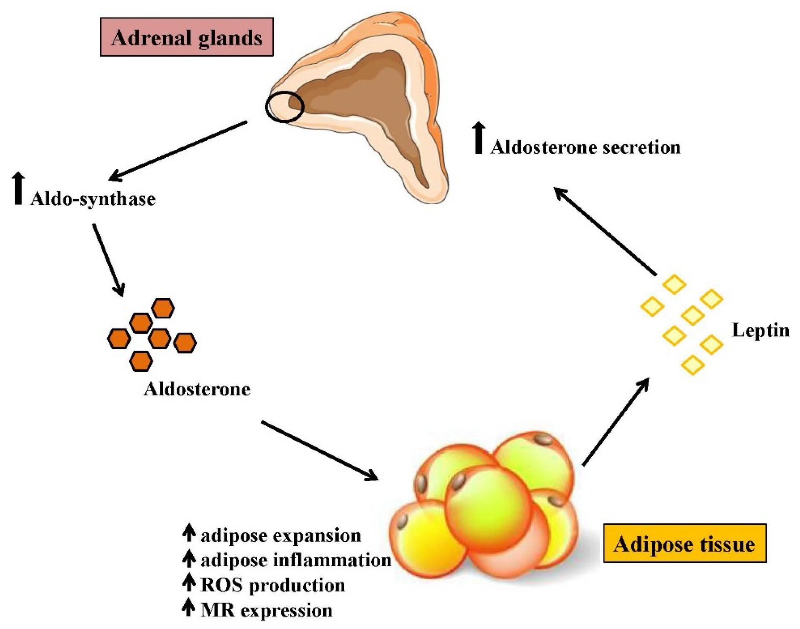 Негативное взаимодействие альдостерона и жировой ткани