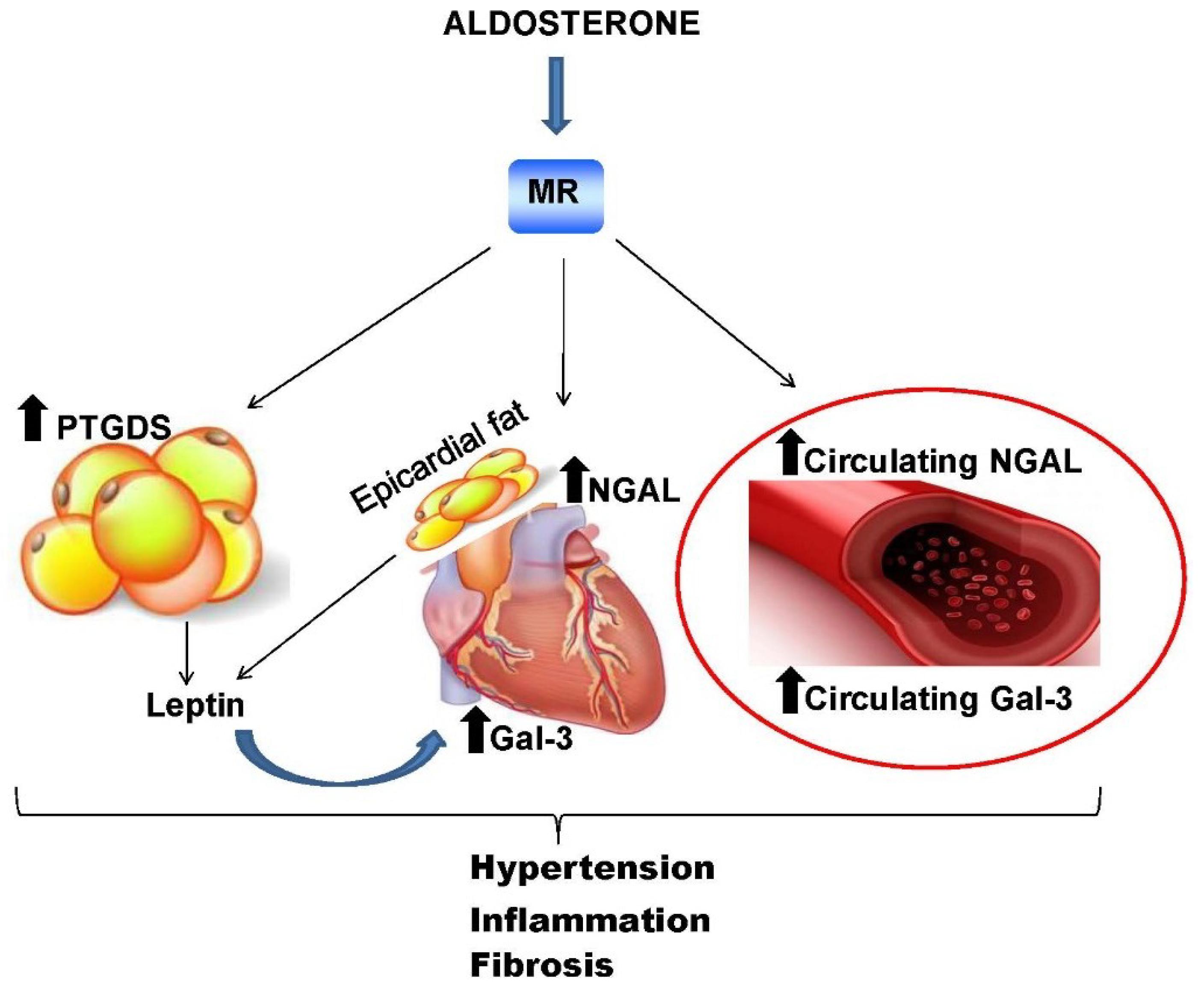 Негативные последствия роста уровня альдостерона