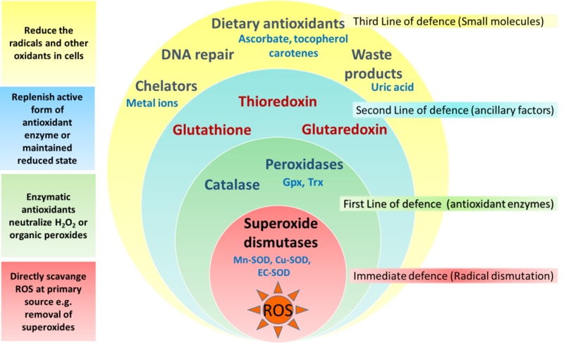 Глутатион защищает от активных форм кислорода
