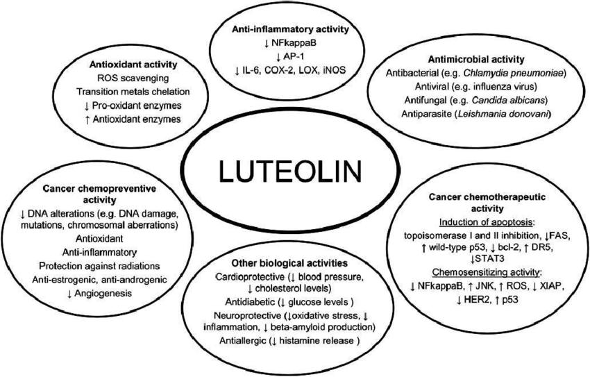 Биологическая активность лютеолина