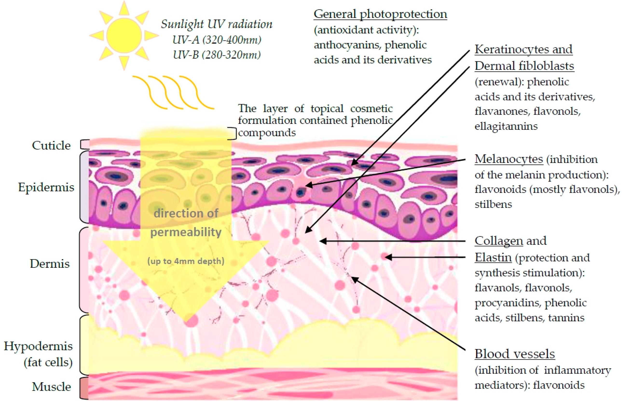Лютеолин защищает кожу от солнечного облучения