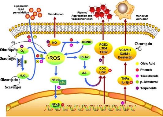 Механизм действия олеиновой кислоты на молекулярном уровне
