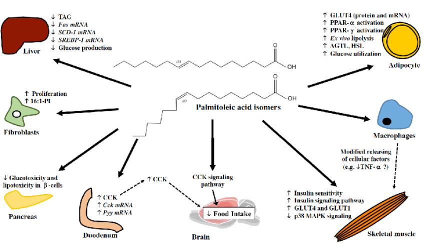 Схема действия пальмитолеиновой кислоты на молекулярном уровне