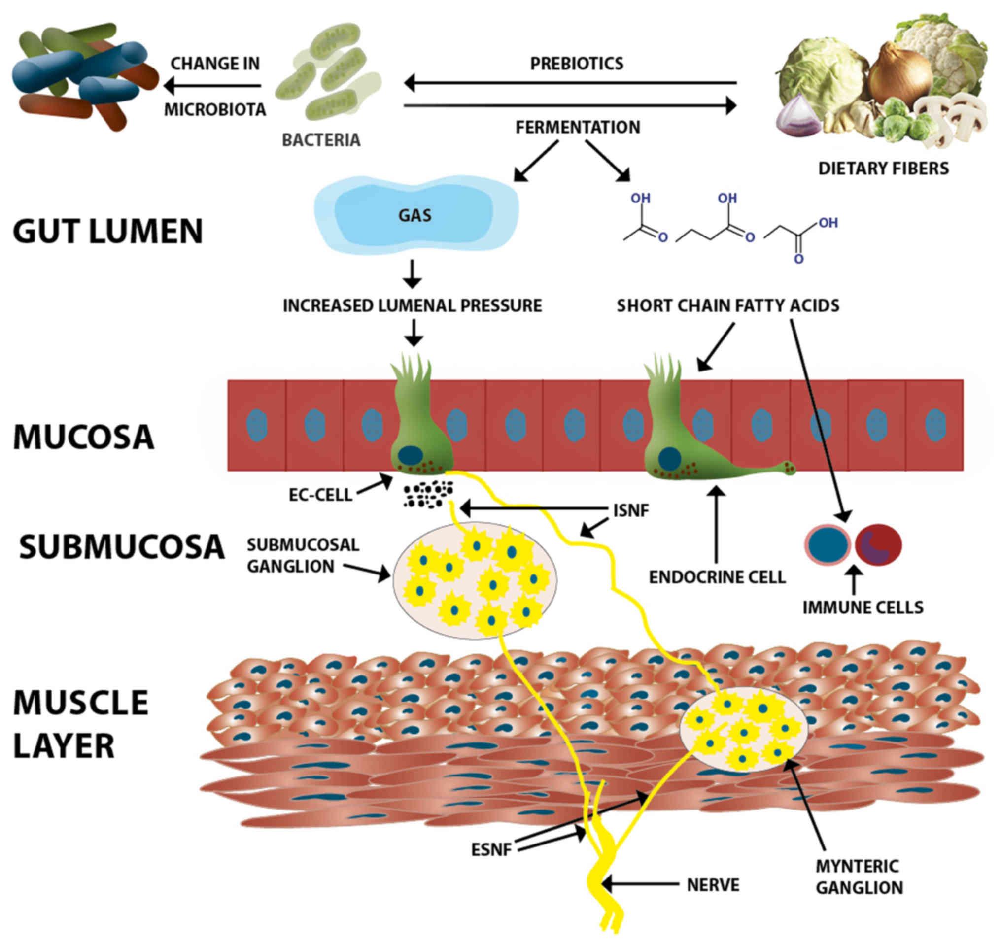 Волокна влияют на работу желудка и кишечника