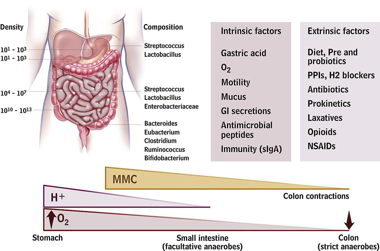 Факторы, влияющие на состав микрофлоры кишечника