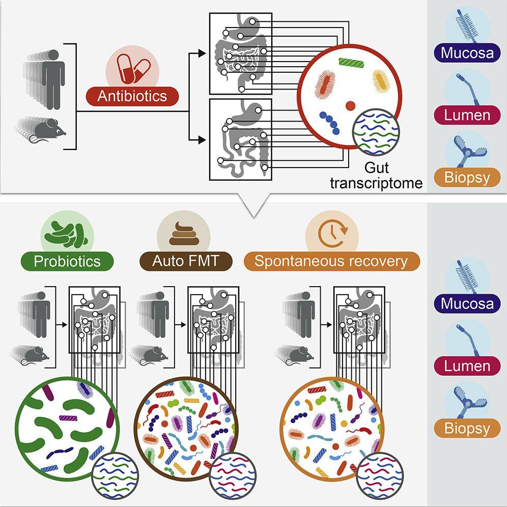 Восстановление микрофлоры после приема антибиотиков происходит медленнее, даже с пробиотиками