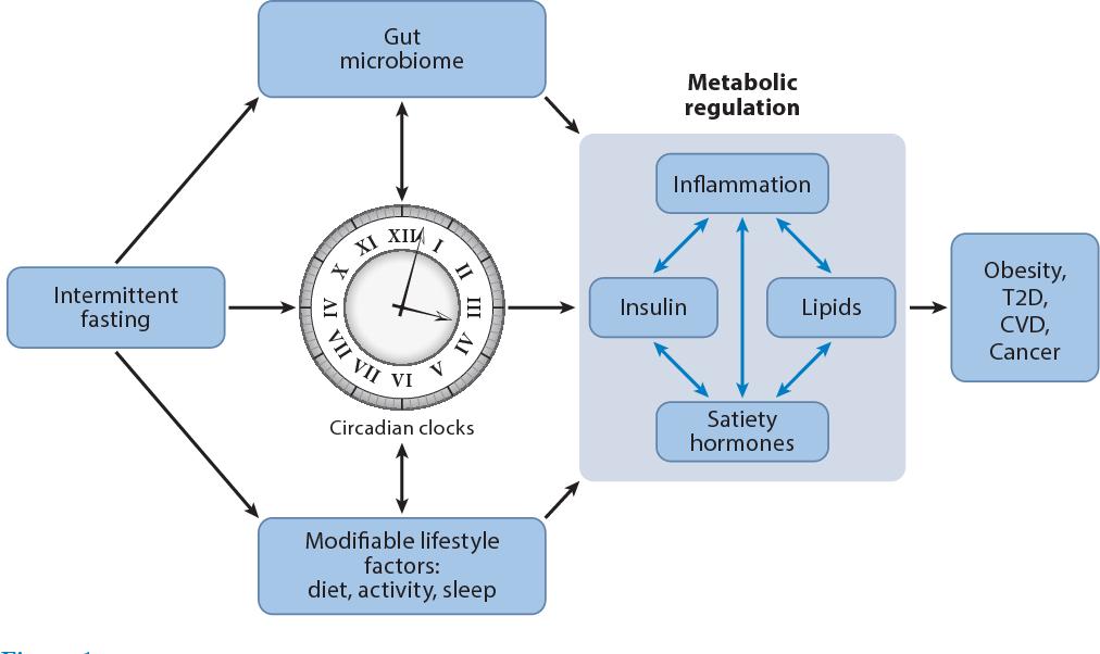 Восстановление микрофлоры с помощью периодического голодания