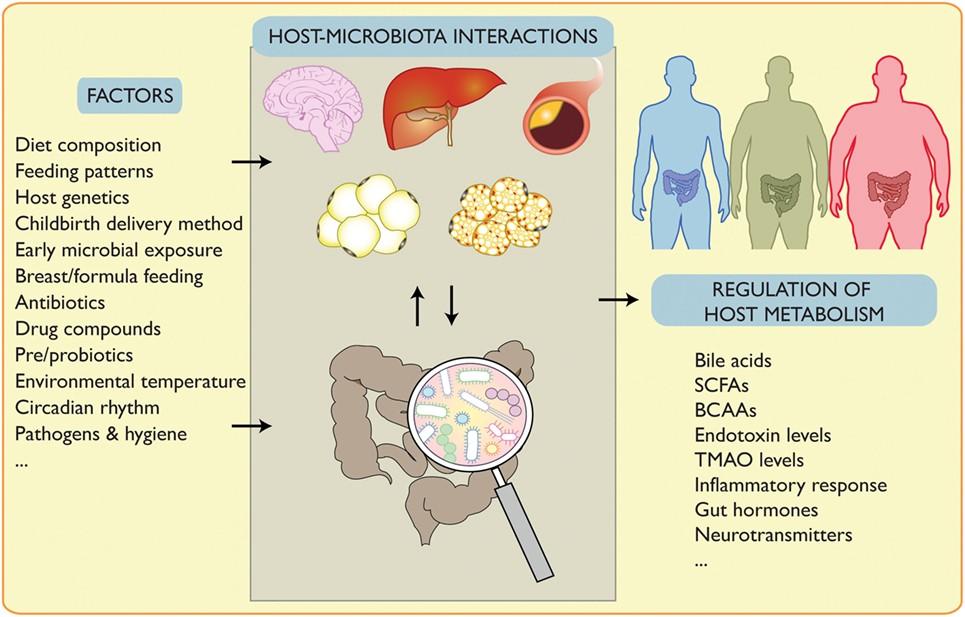 Воздействие на микрофлору кишечника и дальшейшее изменение метаболизма