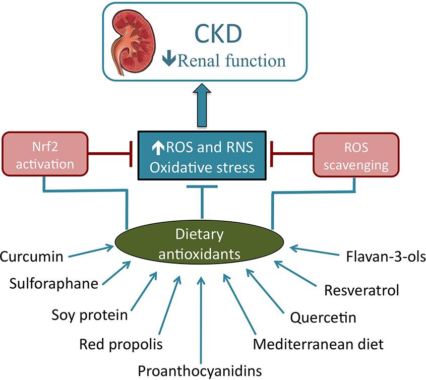 Роль антиоксидантов при хроническом заболевании почек