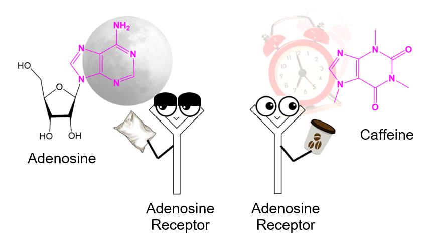 Кофе блокирует рецепторы аденозина в мозге