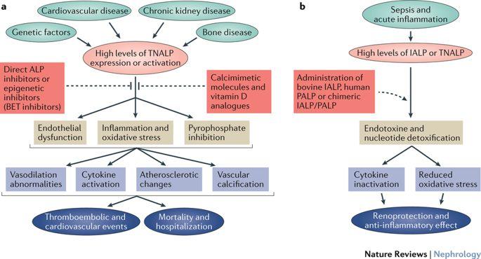 Щелочная фосфатаза при хронической болезни почек
