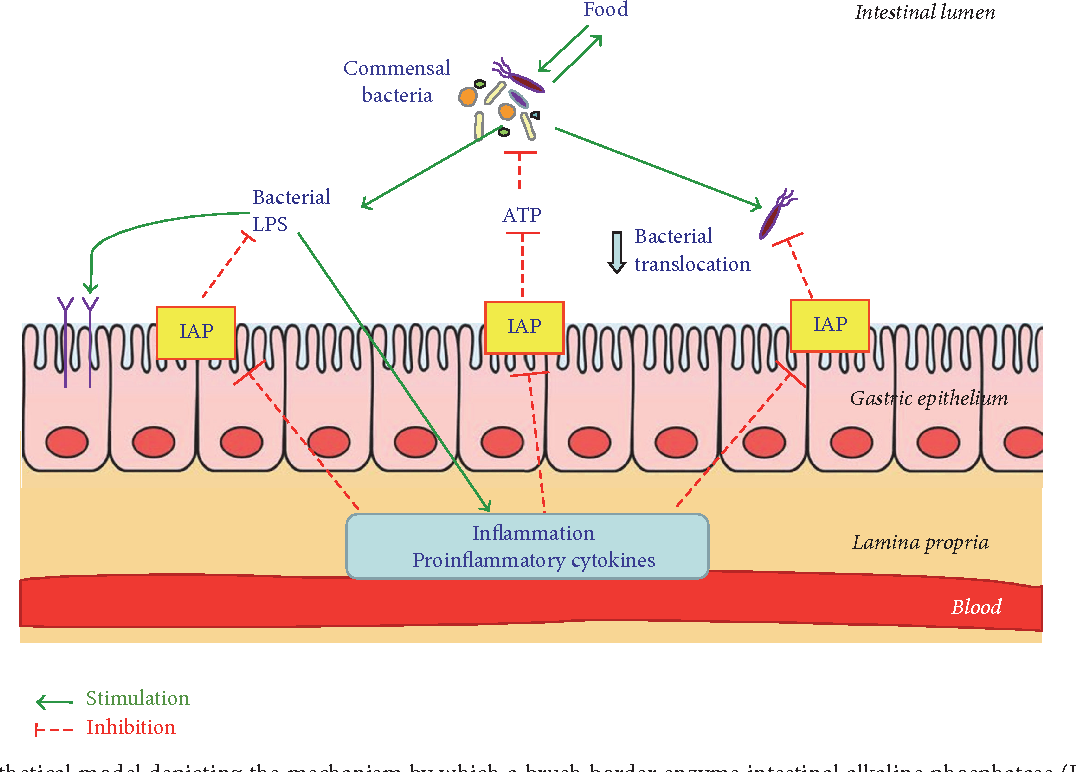 Щелочная фосфатаза в кишечнике защищает от бактерий