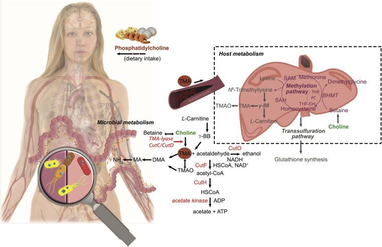 Микрофлора кишечника и холин