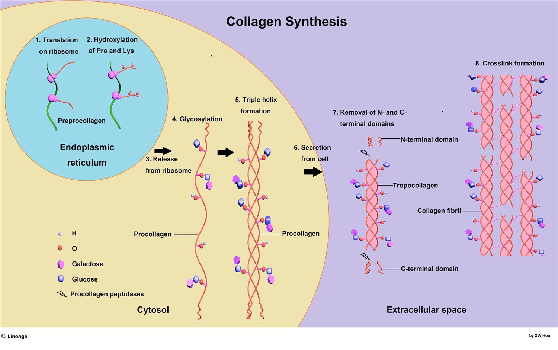 Схема синтеза коллагена