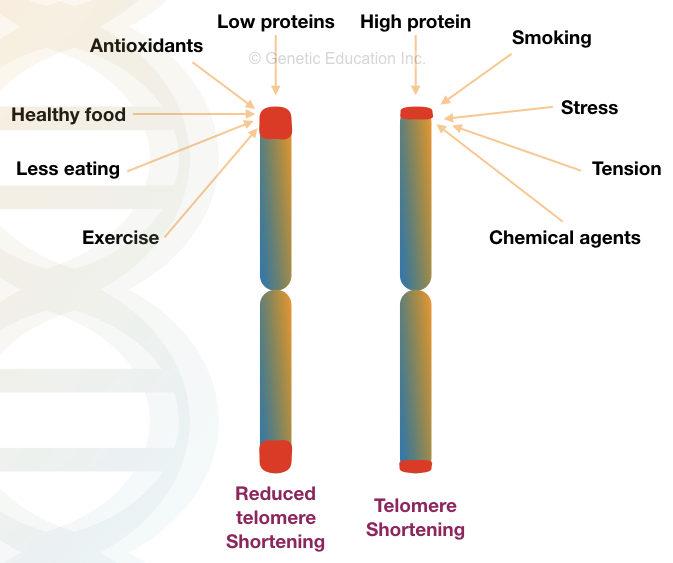 Образ жизни существенно влияет на длину теломер