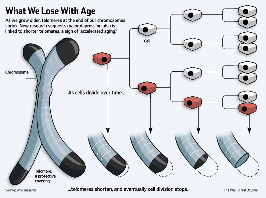 Длина теломер уменьшается со старением