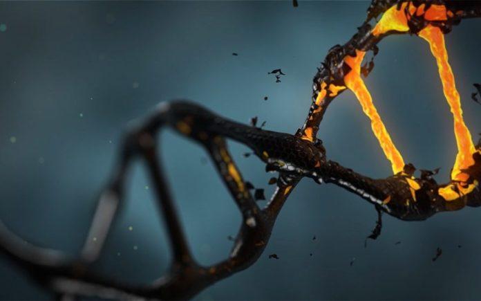 Старение клеток уменьшает длину теломер и толщину коры головного мозга