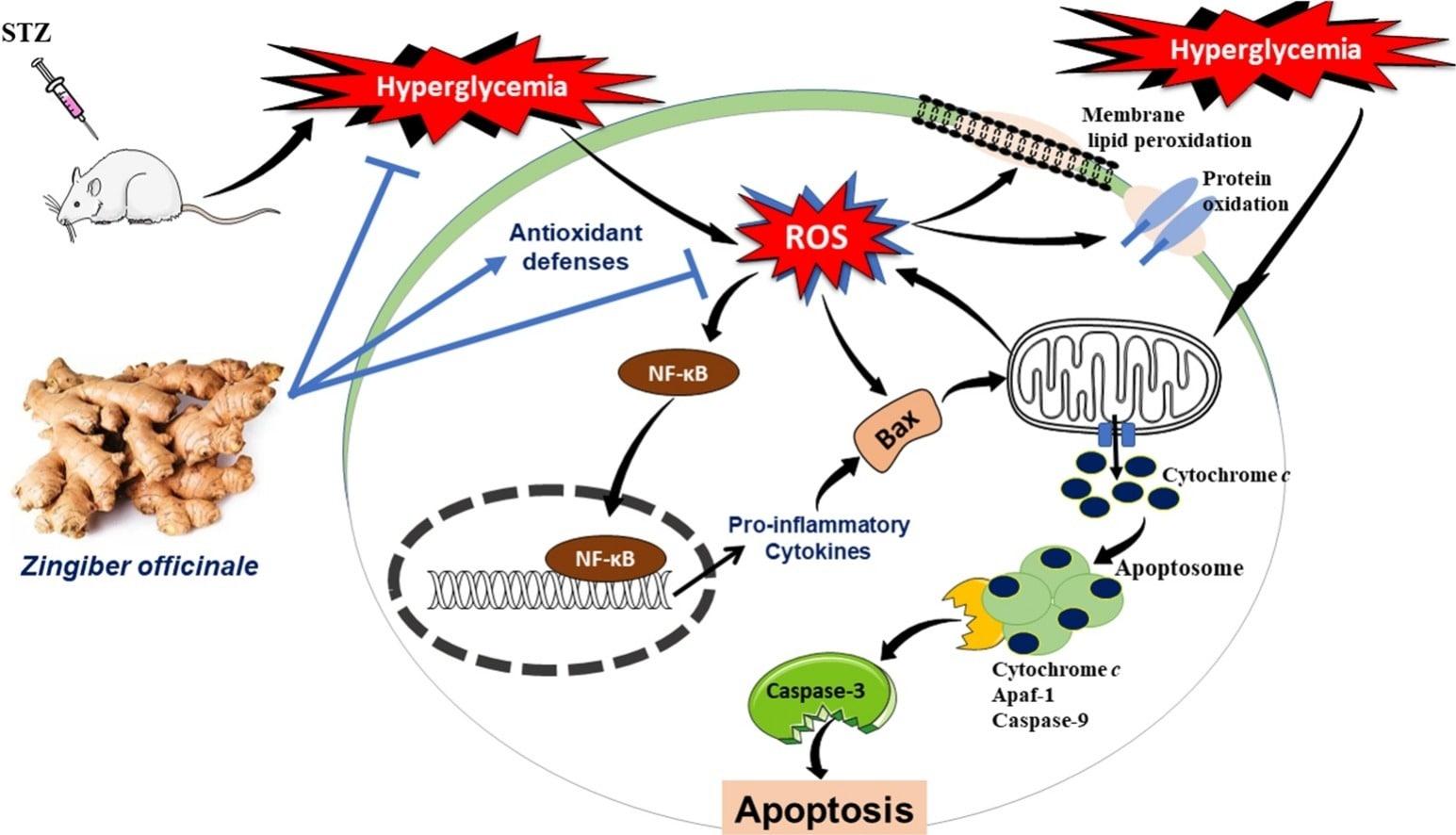 Имбирь уменьшает негативное влияние повышенного уровня глюкозы в крови