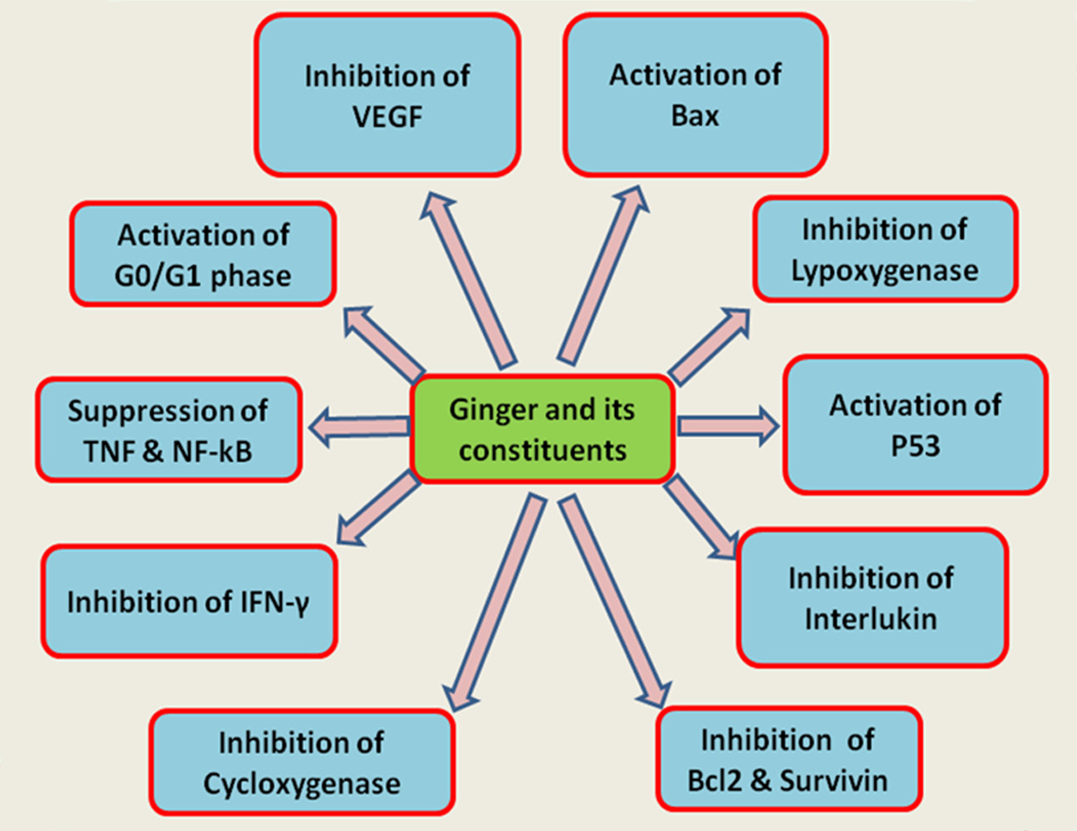 Имбирь способен влиять на активность генов и метаболизма